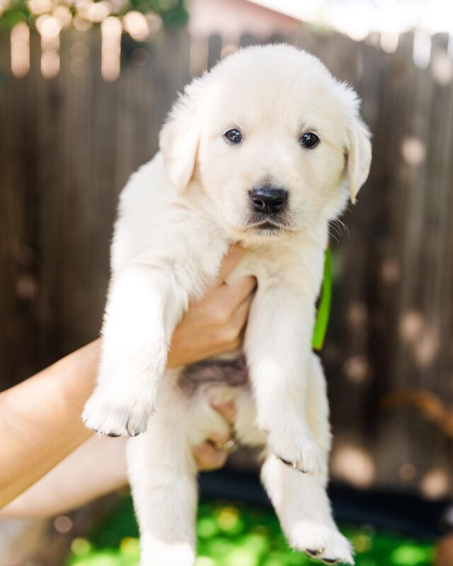 ✨NEW PUPPY✨ coming to the Gray household in one month!!! 😭😭  I've been waiting for this day for over 10 years!! Since I moved out of my parents house (where we had 3 goldens) I knew when the time was right I'd have my own pup. And now that I'm rooted more in Flagstaff than ever it's happening!  Yes, I still travel a lot which is why I can't do it alone. I have amazing friends supporting me as I go on this process and will love this boy.  Excited to bring him home!  His name… TBD. Any suggestions?